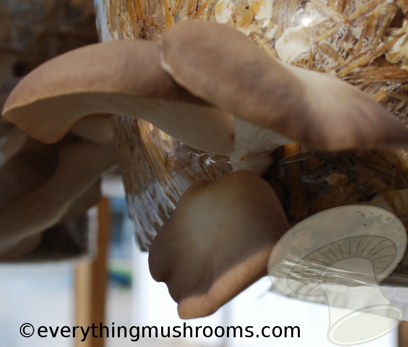 Pleurotus pulmonarius: Mediterranean Oyster Mushroom - spore print