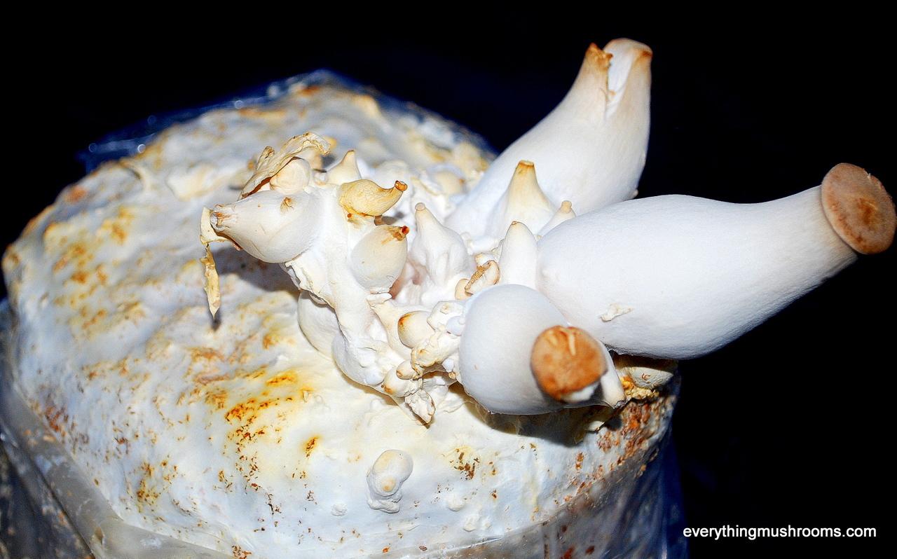 Oyster Mushroom, King Oyster (Pleurotus eryngii) - Ready to Grow Kit