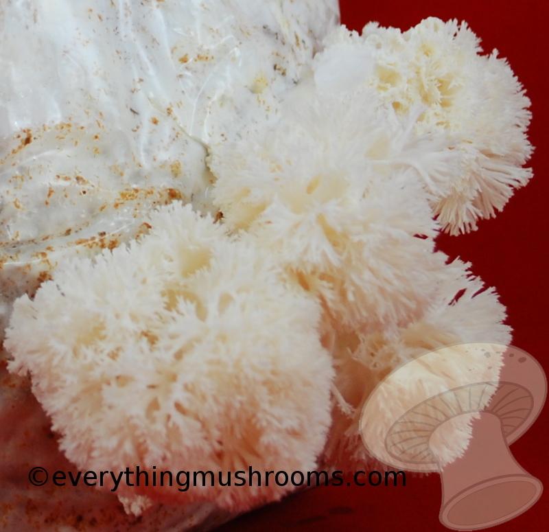 Hericium erinaceus : Lion's Mane Mushroom - 60cc liquid culture