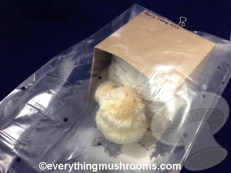Lion's Mane Mushroom (Hericium erinaceus) - Ready to Grow Kit