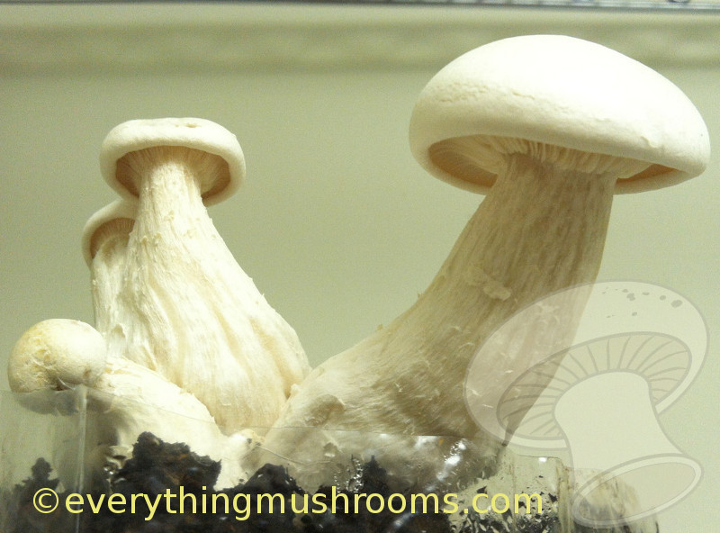 Calocybe indica : Milky Mushroom - 10cc liquid culture