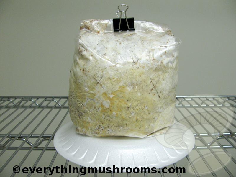 Oyster Mushroom, Blue Oyster (Pleurotus columbinus) - Ready to Grow Kit