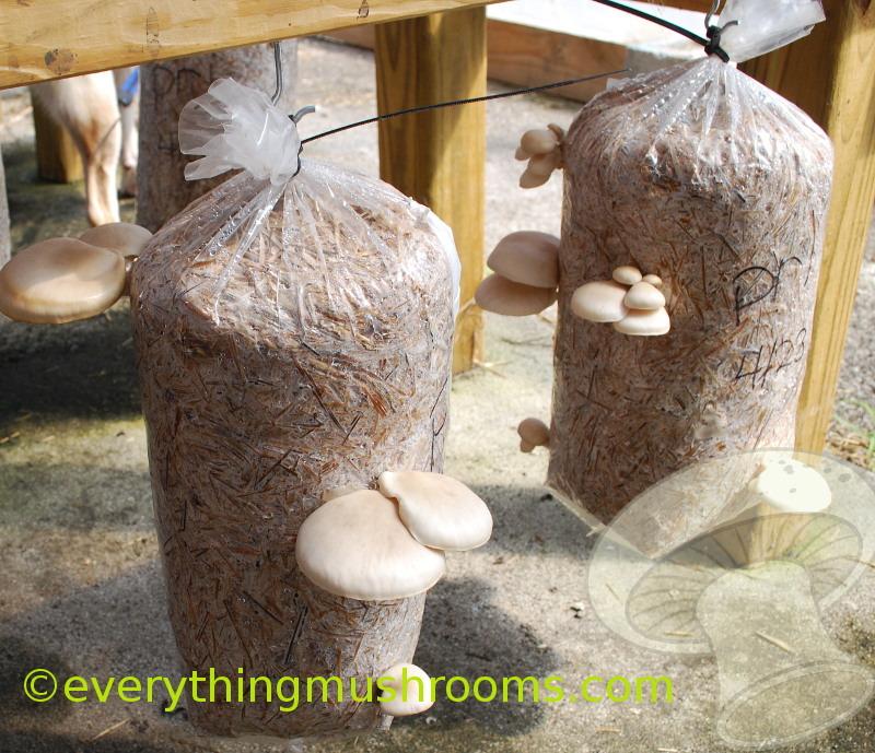 Oyster Mushroom, Pearl Oyster (Pleurotus ostreatus) - Sawdust Spawn Block