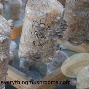 Pleurotus pulmonarius : Phoenix Oyster Mushroom - 10cc liquid culture