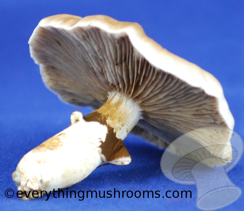Agrocybe aegerita : Pioppino, Black Poplar Mushroom - 10cc liquid culture